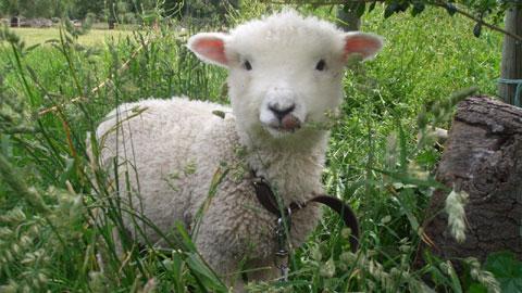 自転車の 自転車 赤ちゃん 母親 : ニュージーランド散歩道: 子羊 ...